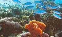 Красноморские цезии. Рыбы Красного моря. Атлас.
