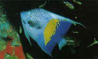 Рыба-ангел, Красное море