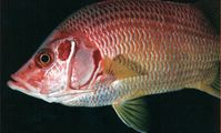 Рыба белка, Красное море