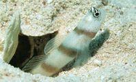 Бычки. рыбы Красного моря