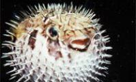 Рыба-еж, Красное море, рыбы