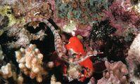 Рыба-игла, Красное море