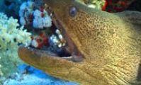 мурены, рыбы красного моря