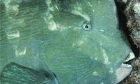 Рыба-попугай, Красное море, рыбы, фауна