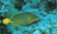 Спинороги, рыбы Красного моря