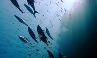 Ставрида, рыбы Красного моря