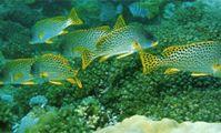 рыба ворчун